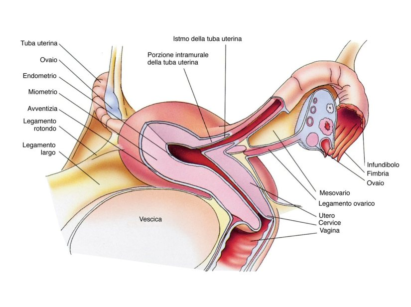 sezione apparato genito-urinario femminile